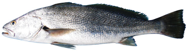 Jewfish Mulloway Photos Info Catch Cook Buy