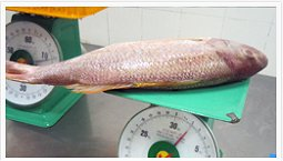 Snapper on scales, whole snapper