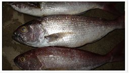 White Snapper suppliers
